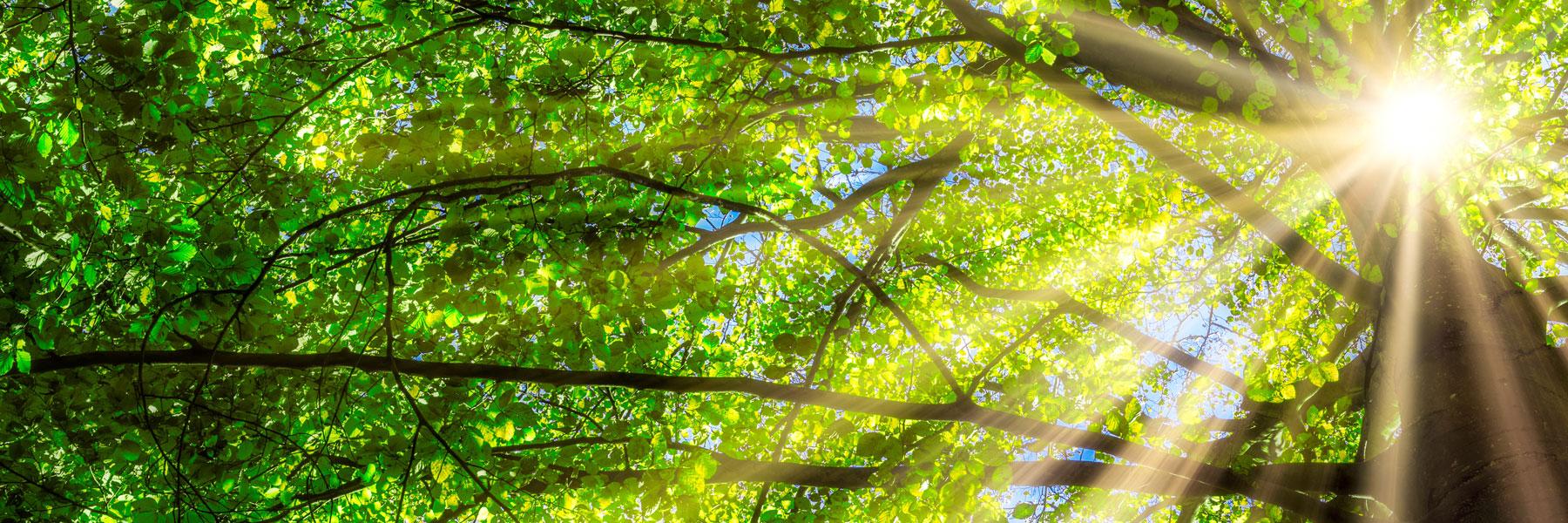 Faire de Belmont une localité plus durable – Rayons de soleil dans un arbre